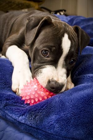 black and white puppy on blue pillow with pink ball Stock Photo
