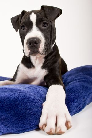 dog pose: black and white puppy on blue pillow