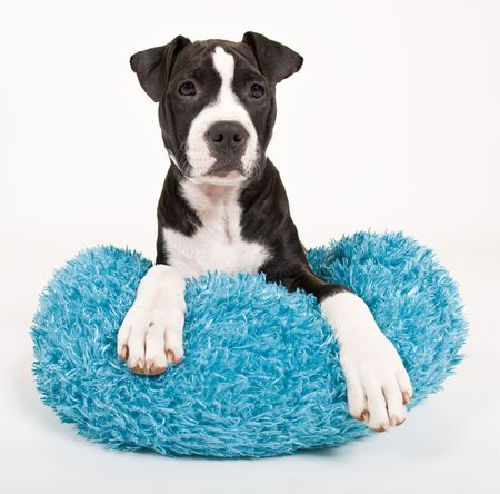 black dog: black and white puppy on blue pillow