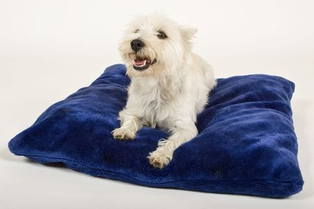 white dog laying on blue pillow