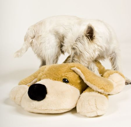 white dog sniffing stuffed dog