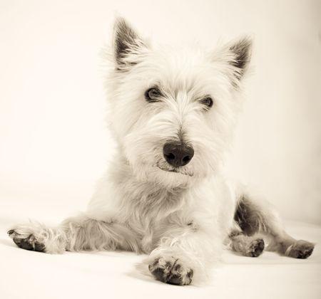 white dog on white background