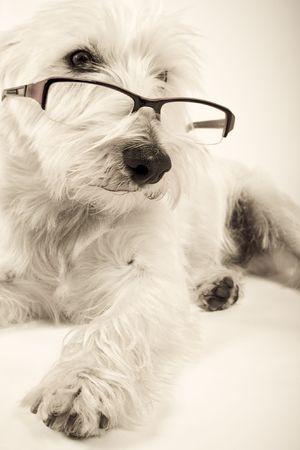 white dog wearing reading glasses