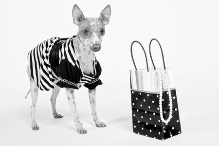 hairless dog wearing outfit with shopping bag
