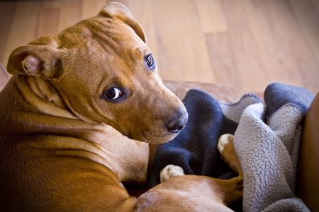 Tan Pit Bull pup on chair with blanket