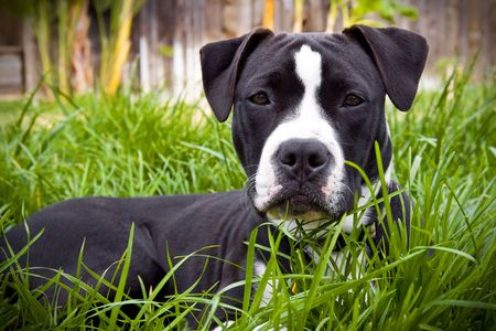 Pit Bull puppy laying in grass Stock Photo