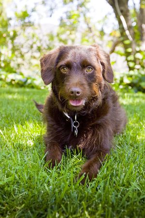 chocolate Labradoodle laying in grass
