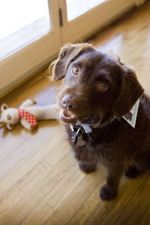 chocolate Labradoodle sitting by toy