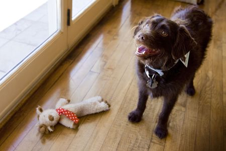 chocolate Labradoodle standing by toy