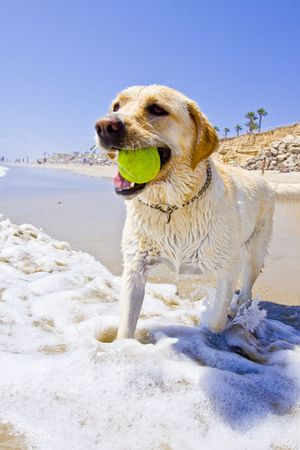 golden Labrador at the beach playing with a tennis ball in the water