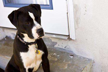 black and white pit bull: Black and white Pit Bull sitting near door Stock Photo