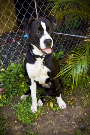 black and white pit bull: Black and white Pit Bull sitting near kennel