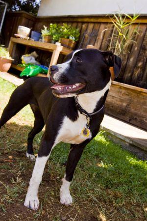 black and white pit bull: Black and white Pit Bull standing in backyard