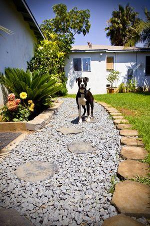 black and white pit bull: Black and white Pit Bull walking along walkway