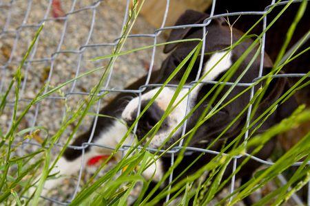 black and white pit bull: Black and white Pit Bull eating grass through fence
