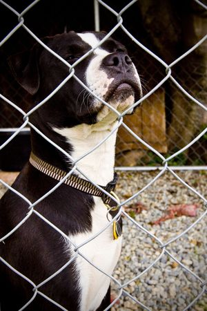 black and white pit bull: Black and white Pit Bull standing behind fence