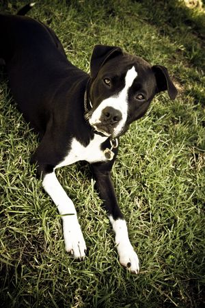 black and white pit bull: Black and white Pit Bull laying in grass