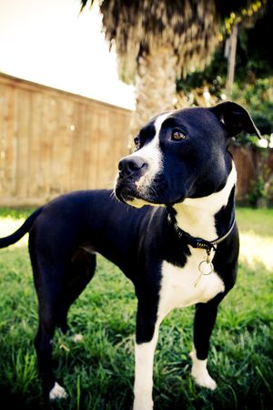 black and white pit bull: Black and white Pit Bull standing in grass
