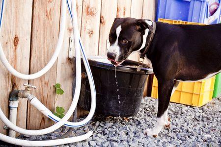 black and white pit bull: Black and white Pit Bull drinking water