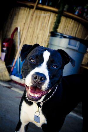 black and white pit bull: Black and white Pit Bull smiling Stock Photo