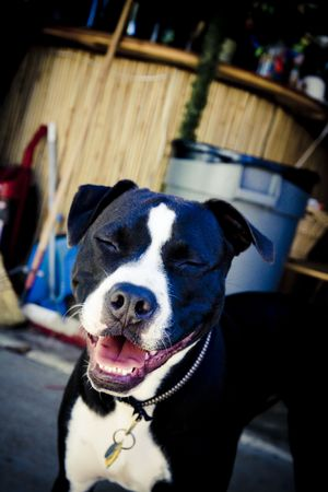 black and white pit bull: Black and white Pit Bull smiling with eyes closed