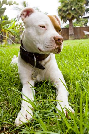 White Pit Bull laying in grass