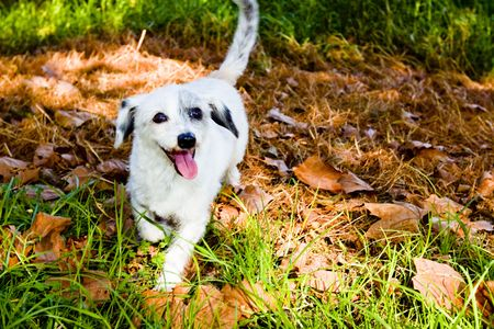 white dog in pile of leaves