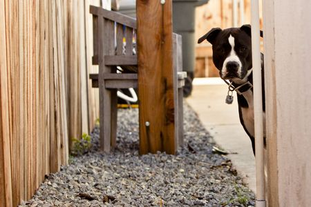 Black and white Pit Bull looking around corner of wall. Stock Photo