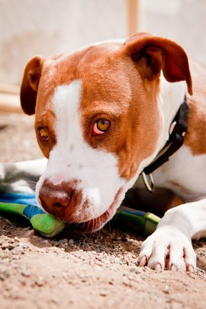 Brown and white Pit Bull chewing on toy Stock Photo
