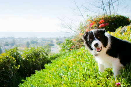 Border Collie smiling with view behind