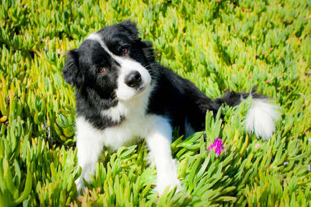 Border Collie looking curious sitting in plants