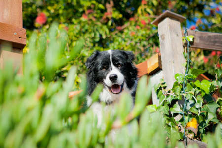 Border Collie smiling behind bushes