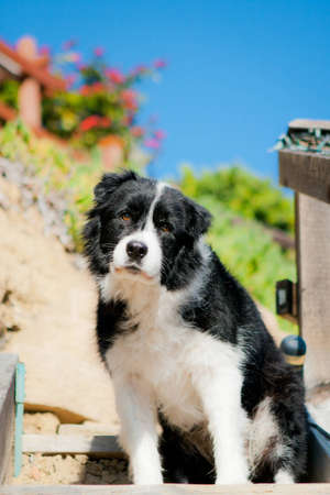 Border Collie looking sad Stock Photo - 13006354