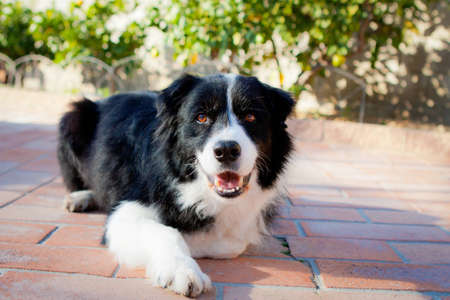 Border Collie laying down smiling