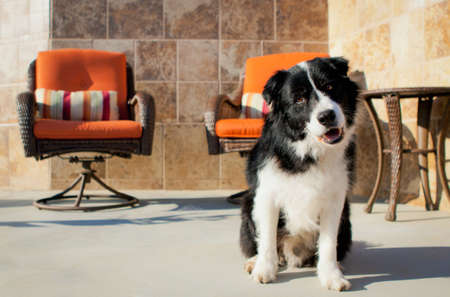 Border Collie sitting and smiling Stock Photo