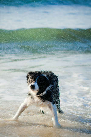 Border Collie shaking dry