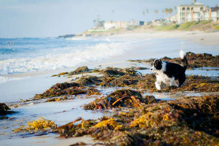 Border Collie running through kelp on beach