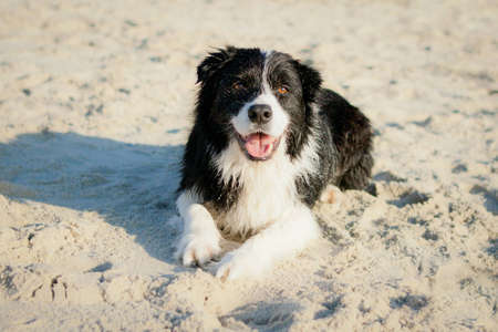 Border Collie laying on beach smiling photo