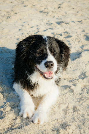 Border Collie laying on beach with eyes closed Standard-Bild