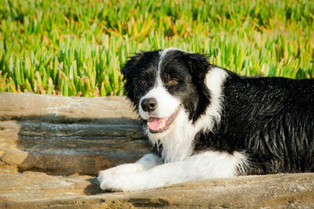 Border Collie laying on front of plants Stock Photo