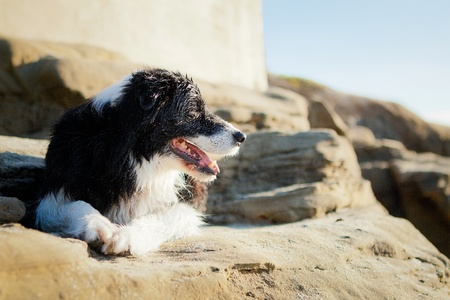 Border Collie laying on rock smiling and looking off into distance