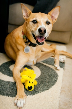 dog smiling with yellow toy Standard-Bild