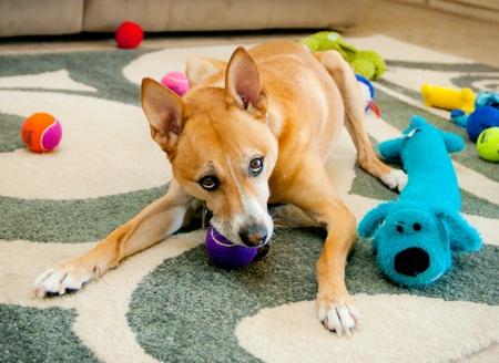 紫色のおもちゃをかみ砕いている犬