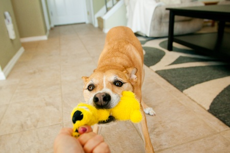 dog pulling yellow toy with mouth