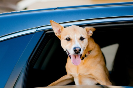 dog with head hanging out car window Stock Photo