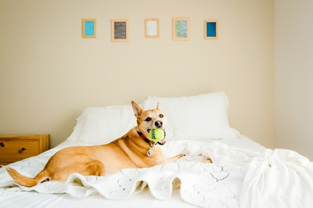 dog laying on bed with ball in mouth Stock Photo