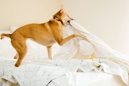dog playing with bed sheets