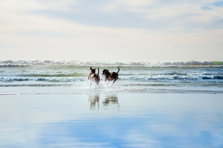 two dogs running in ocean
