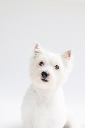 white west highland terrier on white background Standard-Bild