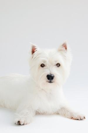 white west highland terrier on white background Stock Photo